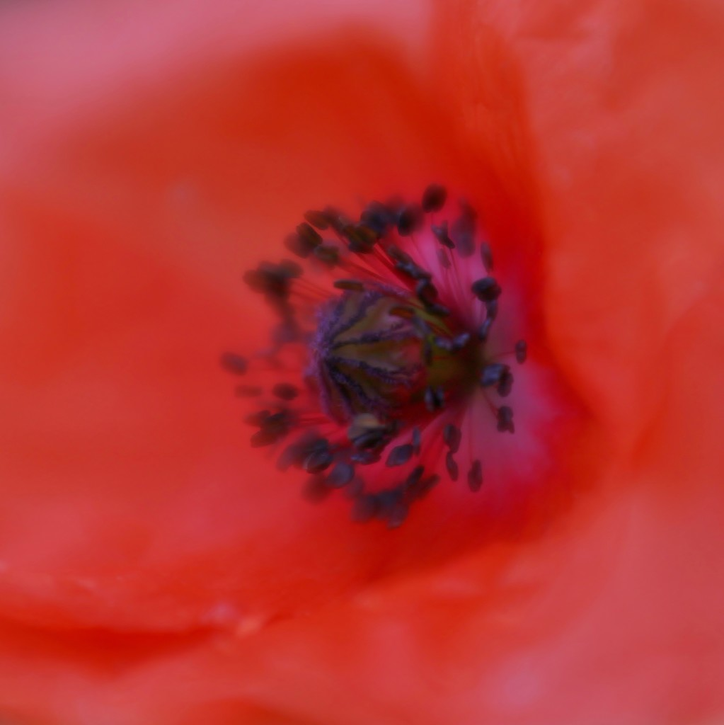 Poppy From The Wheat Field by motherjane