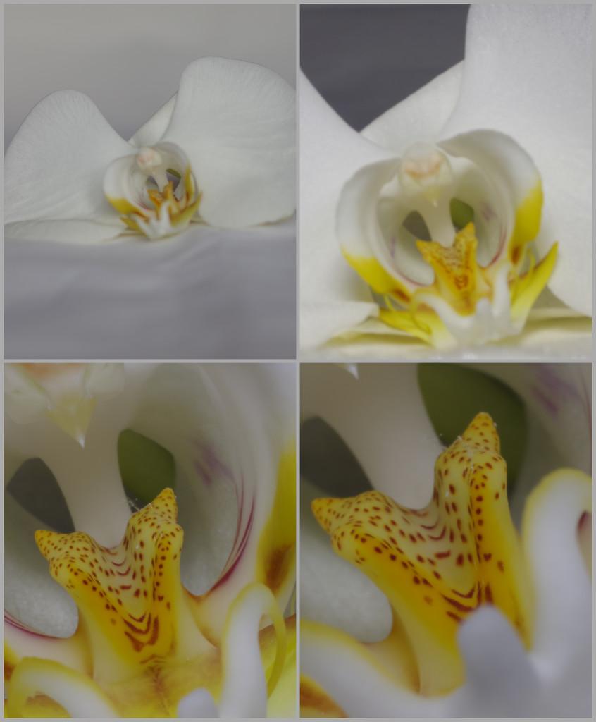 orchid macroed by 30pics4jackiesdiamond