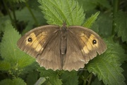 14th Aug 2019 - meadow brown