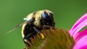 13th Aug 2019 - Bumble bee