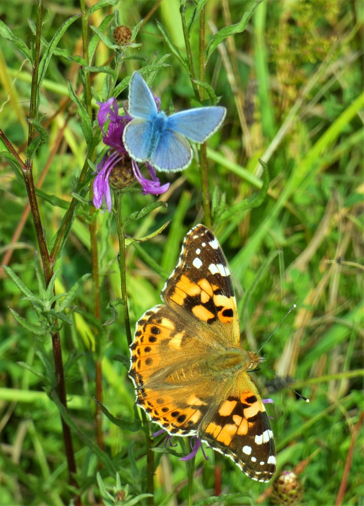 Painted Lady and Common Blue by julienne1
