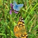 Painted Lady and Common Blue