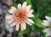 15th Aug 2019 - Supreme Canalope Coneflower