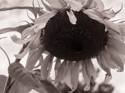14th Aug 2019 - Giant Sunflower