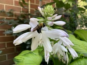 13th Aug 2019 - Busy Bee