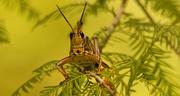 15th Aug 2019 - Eastern Lubber Grasshopper Head On!