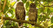 15th Aug 2019 - The Barred Owls Were Back!