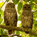 The Barred Owls Were Back!