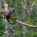 Barred Owl Dinner