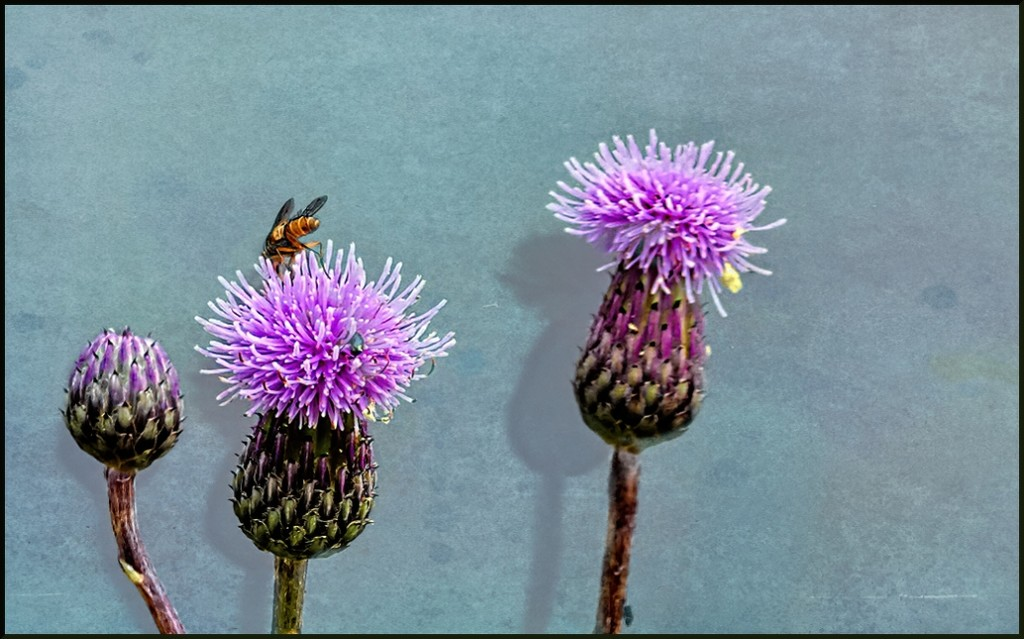 More thistles by ludwigsdiana