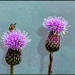 More thistles