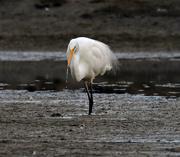 16th Aug 2019 - White heron (great egret) Kotuku feeding