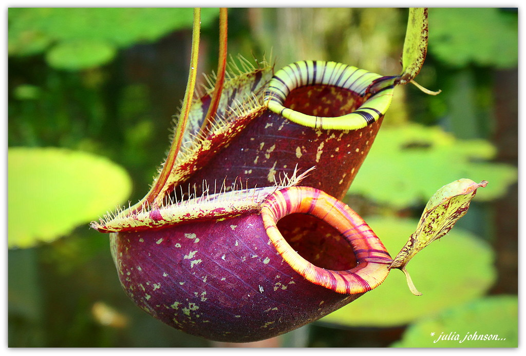 Pitcher Plant... by julzmaioro