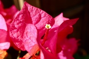 "16th Aug 2019 - ""Three simple waxy flowers"""