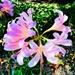 Crinum Lilies aka Swamp Lilies