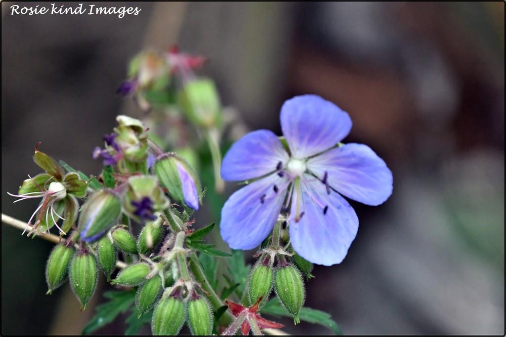 A pretty wild flower by rosiekind