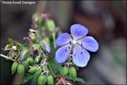 16th Aug 2019 - A pretty wild flower