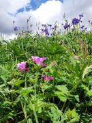 19th Jun 2019 - 19th Rhyd Ddu flowers