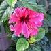 Pink Frilled Hibiscus ~