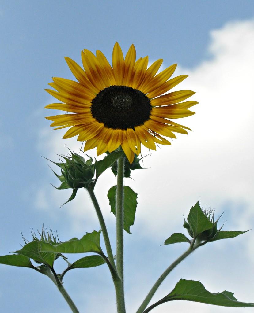 Sunflowers make me happy........... by sailingmusic