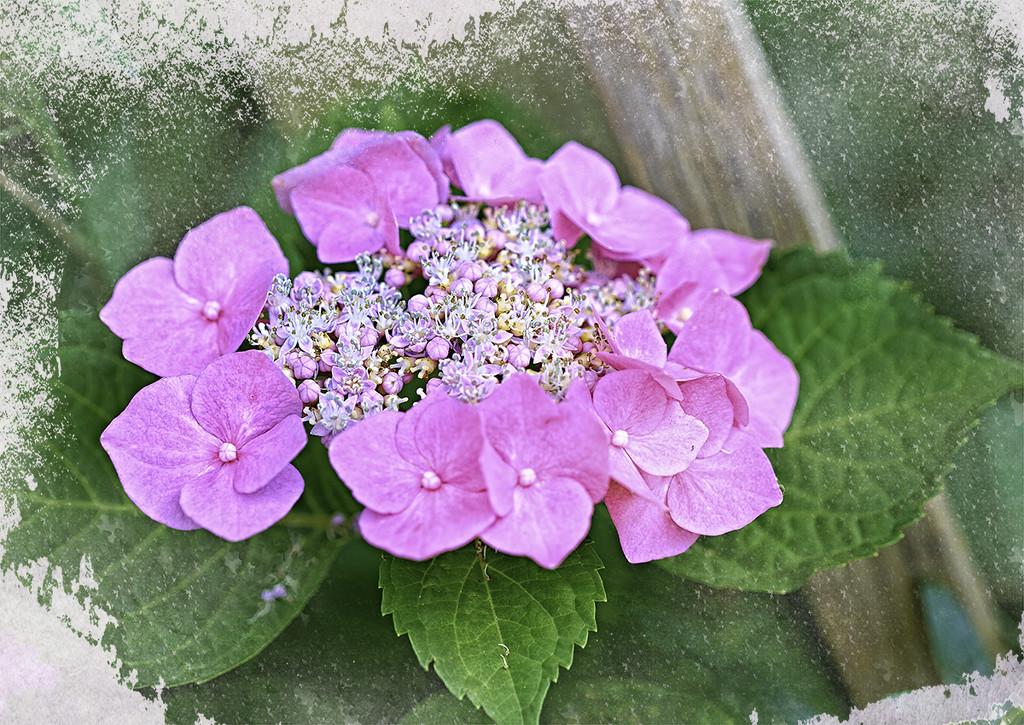 Lace Cap Hydrangea by gardencat