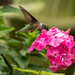 Hummingbird and Phlox