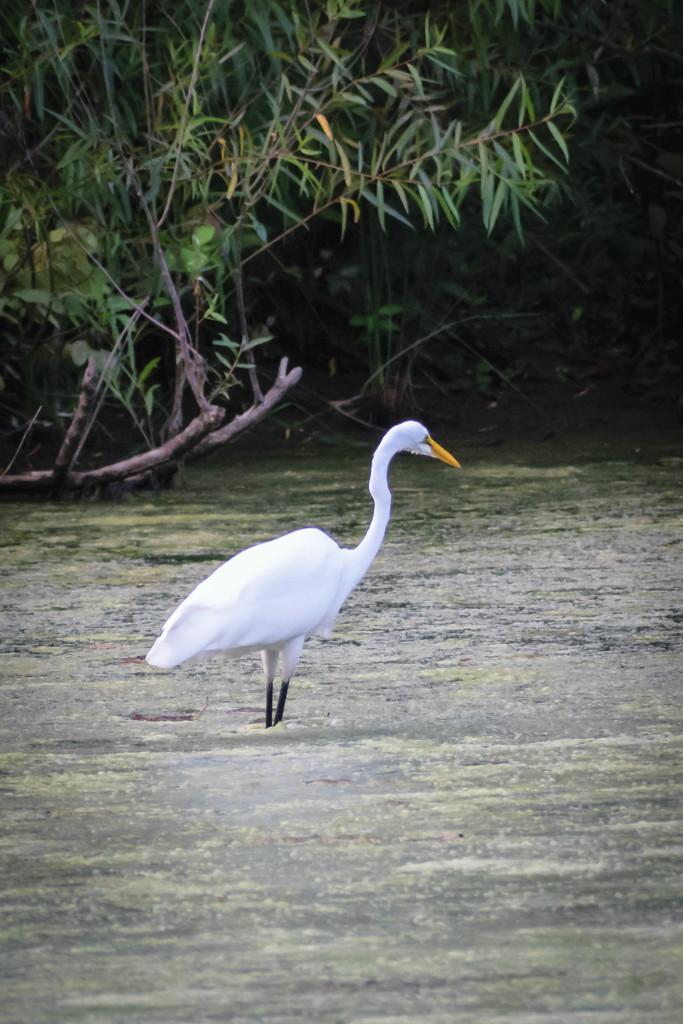 Egret on Hallowell Lake by marylandgirl58