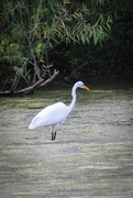16th Aug 2019 - Egret on Hallowell Lake