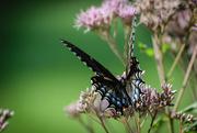 8th Aug 2019 - Flutter Bye Butterfly