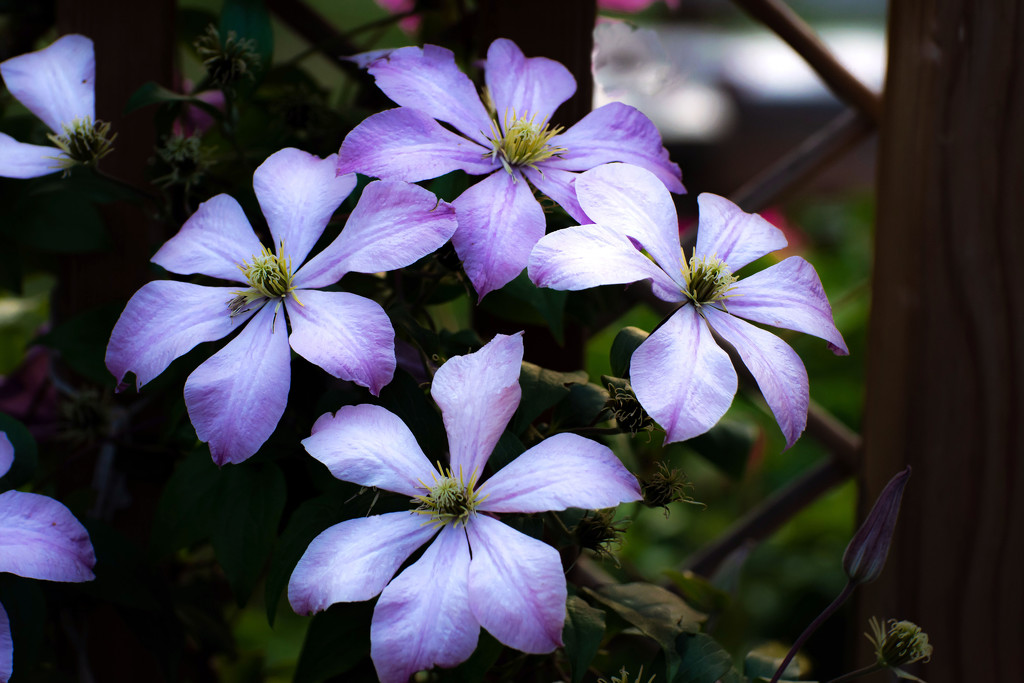 Clematis Circle by farmreporter
