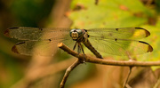 16th Aug 2019 - Dragonfly Hanging On!