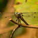 Dragonfly Hanging On!