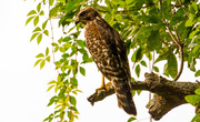 16th Aug 2019 - Red Shouldered Hawk!