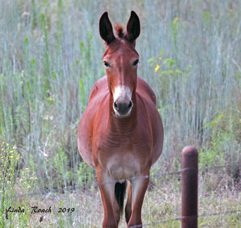 Little Mule With Soulful Eyes by grannysue