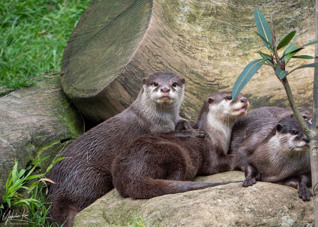 Bevy of Otters by yorkshirekiwi