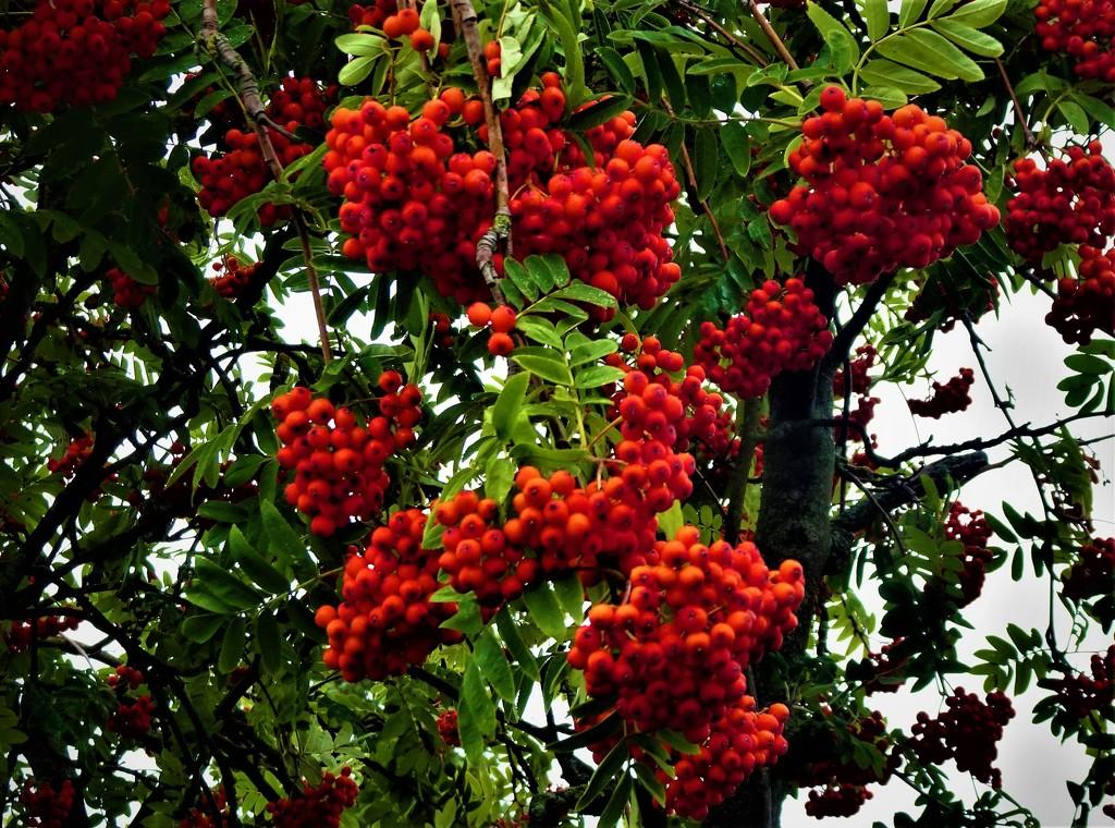 Rowan berries  by beryl