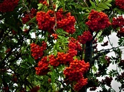17th Aug 2019 - Rowan berries