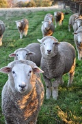 17th Aug 2019 - Sheep