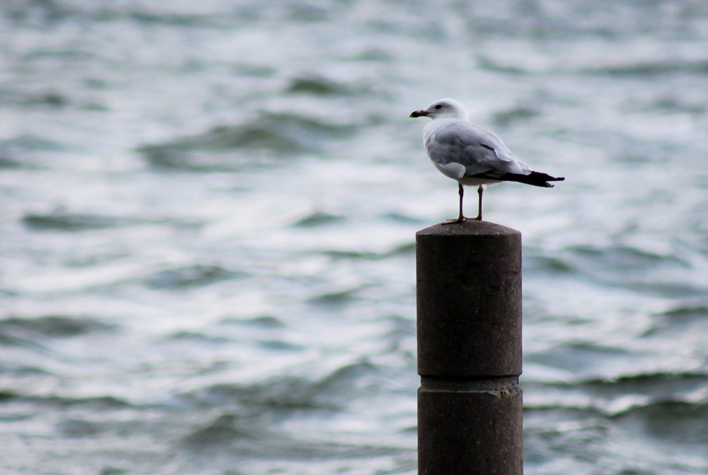 Gull on a post by mittens