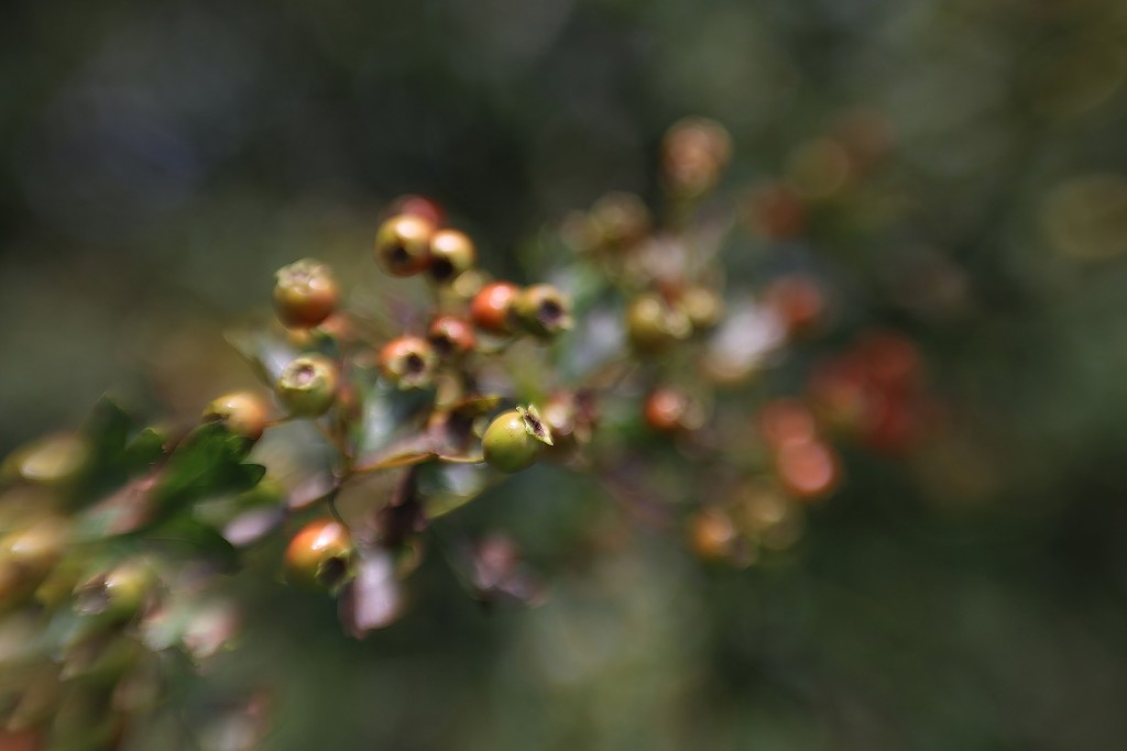Lensbaby Berries by motherjane