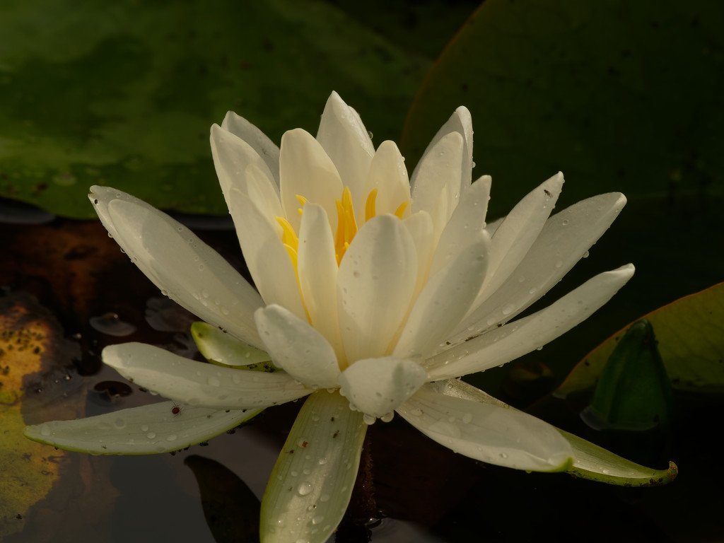 water lily by rminer