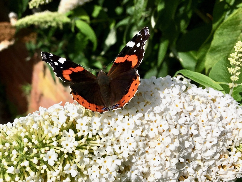 Red Admiral butterfly by rosie00