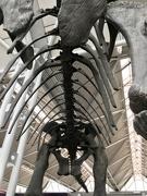17th Aug 2019 - Fake dinosaur skeleton