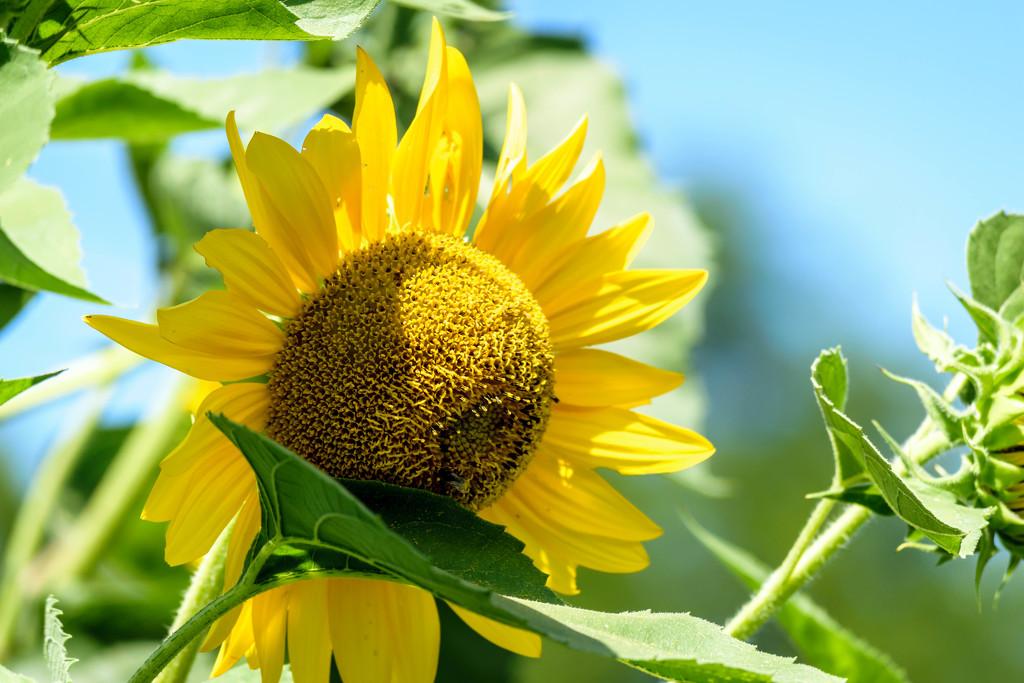 Sunflower in Lewisburg by marylandgirl58