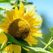 Sunflower in Lewisburg