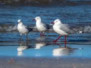 14th Aug 2019 - Seagulls