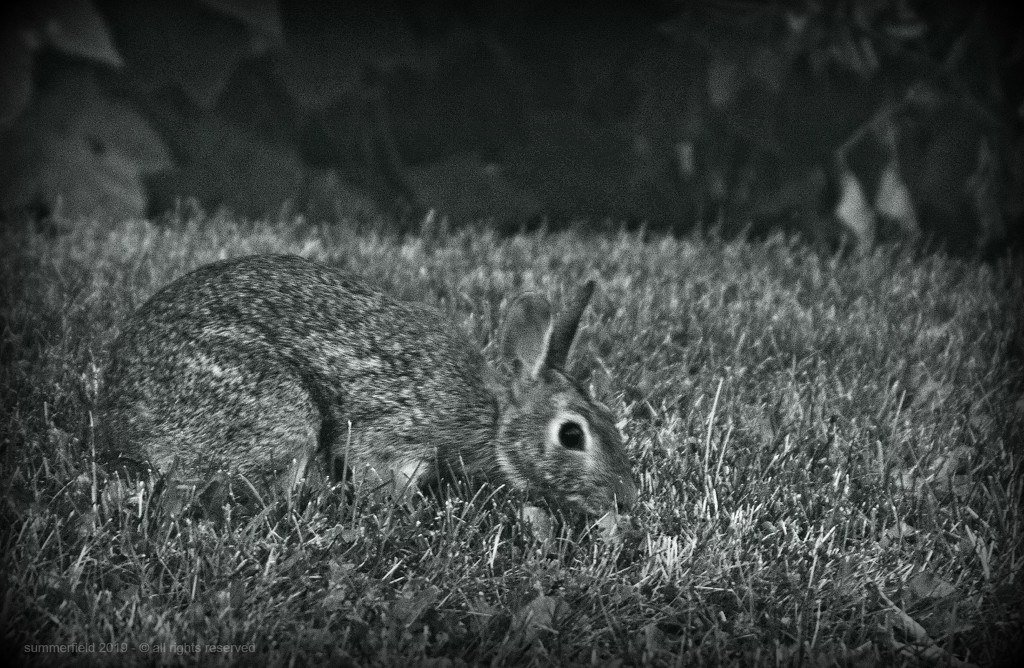 bunny in the grass by summerfield