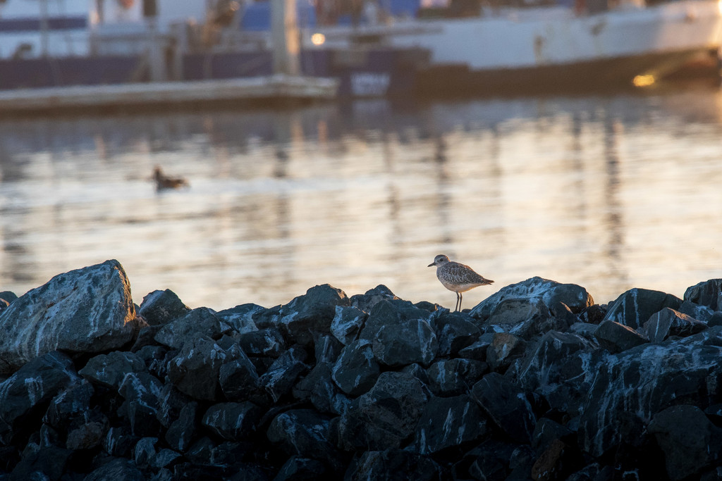 Black-bellied Plover at sunset by nicoleweg