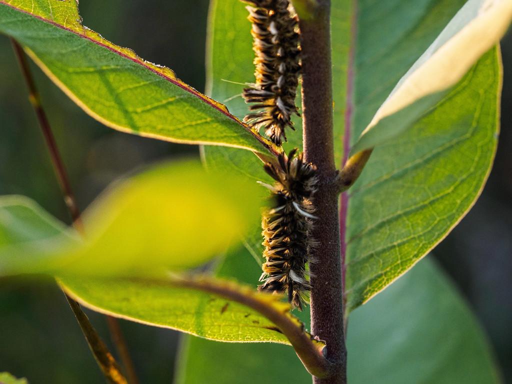 Milkweed Caterpillars by tosee