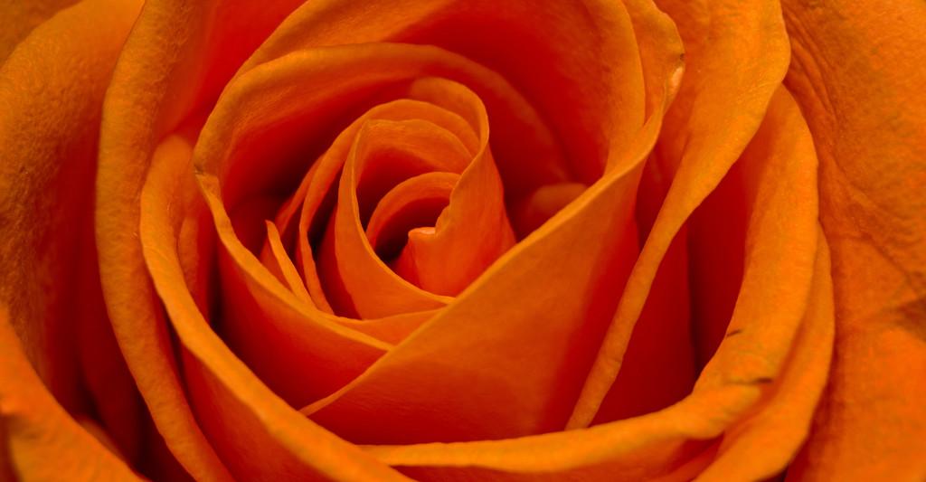 Rose Bloom Macro! by rickster549